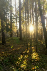 Coniferous forest backlit by the sun on a foggy autumn day. Vertical image.