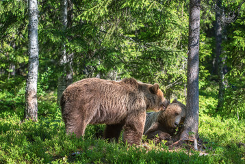 Brown bears  in the summer forest. Natural habitat. Scientific name: Ursus Arctos. Green natural background.