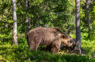 She-Bear and Cubs. Brown bear. Scientific name: Ursus Arctos Arctos. In the summer forest. Natural habitat.