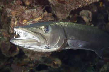 Underwater Great Barracuda with sharp teeth Florida Keys