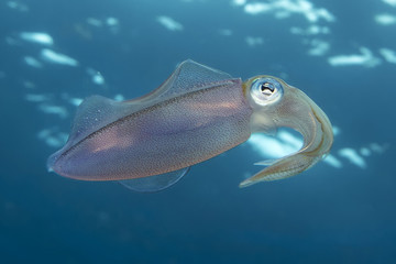 Underwater translucent reef squid, Key Largo, Florida
