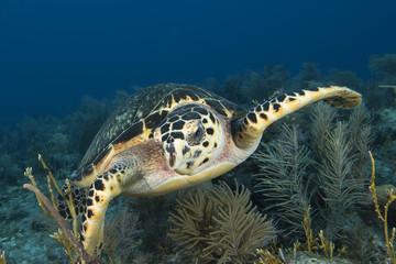 Underwater sea turtle, Key Largo, Florida