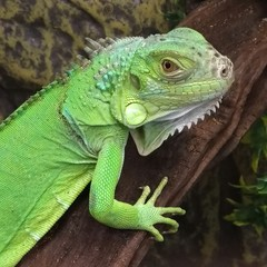 Green iguana is larger than many lizards