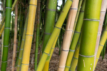 background of green bamboo