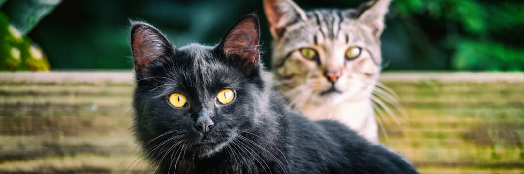 Black cat with yellow eyes banners . Two cute cats outside in garden looking. Panoramic crop. House pets animals.