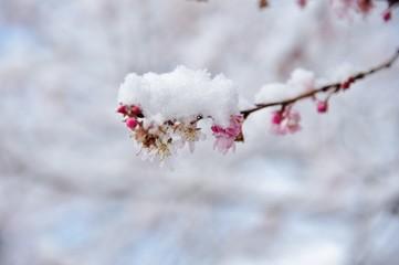 雪と桜./冬桜に雪が積もっています.
