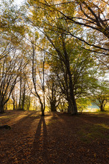 Beech trees in Canfaito forest (Marche, Italy) at sunset with warm colors, sun filtering through and long shadows