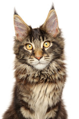 Mainecoon kitten on white background