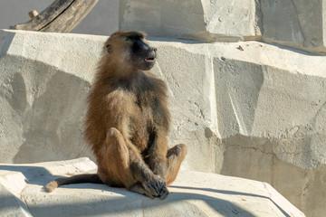 guinea baboon monkey ape