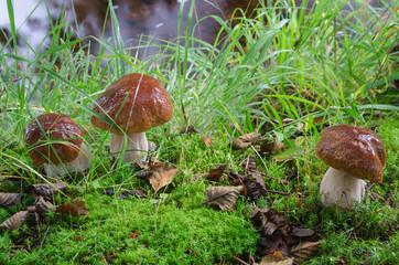 Penny bun (Boletus) mushrooms