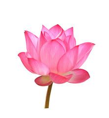 Beautiful Pink lotus flower on white background