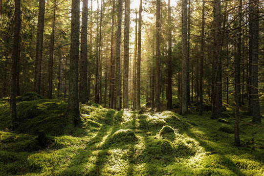 Coniferous forest, ground covered of green moss. Backlit trees. Mystic atmosphere.