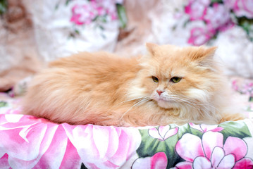 Fluffy Persian red cat