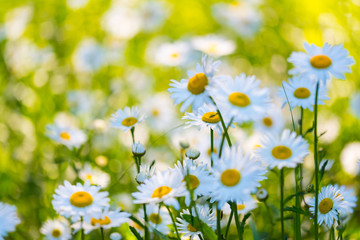 Papiers peints Marguerites Flowers field of camomiles in garden in sunny day, wallpaper background. White chamomile field.