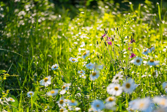 Flowers field of camomiles in garden in sunny day, wallpaper background. White chamomile field.