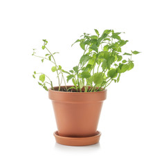 Pot with fresh mint on white background