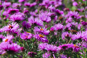 Big bush of lilac asters blooming in yard in September. Autumnal flowers