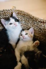 Chatons fratrie petit chat dans un panier