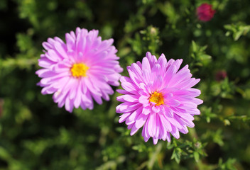 close photo of two pink blooms of aster flowers