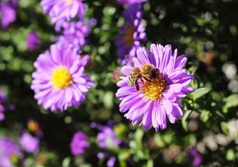 honey bee feeding itself on the bloom of aster flower