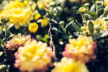 Autumn hrysanthemums, morning burgeoning flowers, color explosion.
