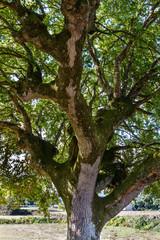 Tronco y ramas de roble. Quercus.
