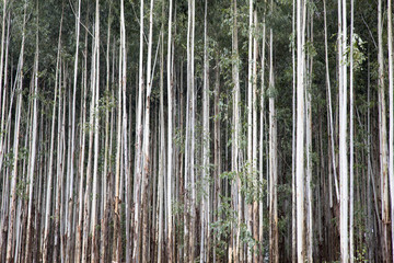 Forestry. Eucalyptus trees