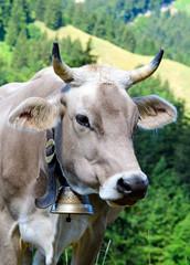 Glückliche Kuh in der Schweiz mit artgerechter Haltung :)