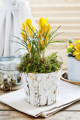 Papiers peints Crocus Yellow crocus flower in bark pot decorated with moss.