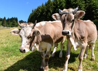 Glückliche Kühe in der Schweiz mit artgerechter Haltung :)