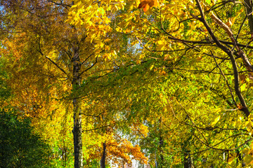 autumn yellow trees