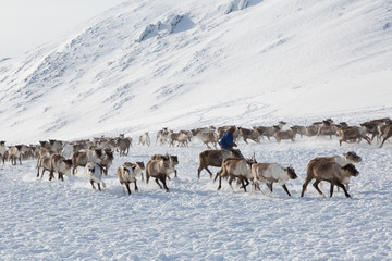 Nenets reindeer mans catches reindeers on a  winter day