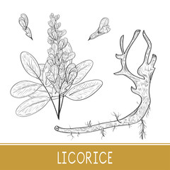 Licorice. Root, flower, leaves. On a white background. Sketch. Monochrome. Set