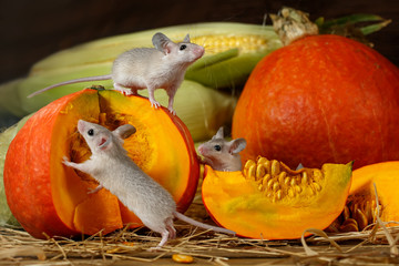 Close-up three young mice climbs on orange pumpkin in the warehouse. Small DoF focus put only to mouse on top of pumpkin.