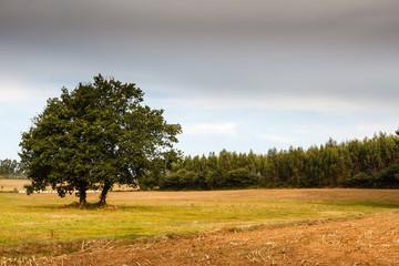 Paisaje rural. Campo agrícola, robles y bosque de eucaliptos.