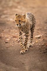 Cheetah cub walks down track lifting paw