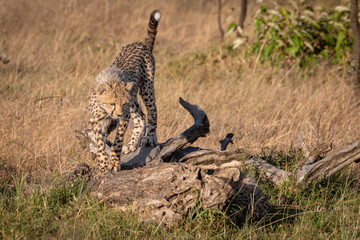 Cheetah cub walks on log in savannah