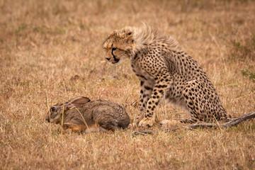 Cheetah cub watches scrub hare in savannah