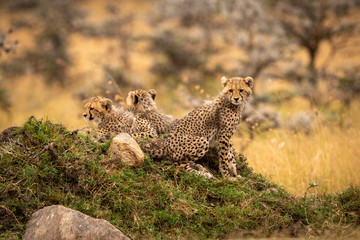 Cheetah cubs looking down from rocky mound