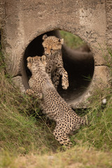 Cheetah cubs play fighting in concrete pipe