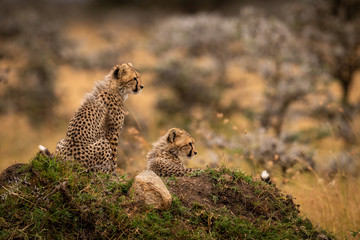 Cheetah cubs sit and lie on mound