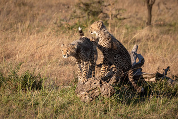 Cheetah cubs sitting and standing on log
