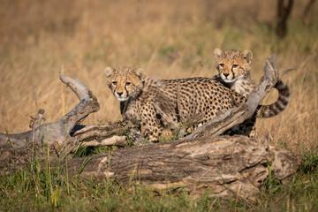 Cheetah cubs stand behind log in grass