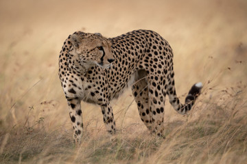 Cheetah in grass stands with head turned