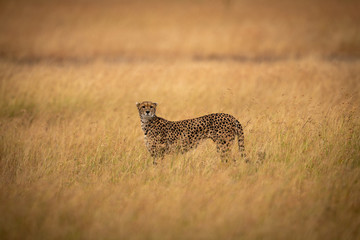 Cheetah in middle of savannah facing camera