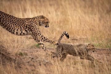 Cheetah jumping down earth bank after cub