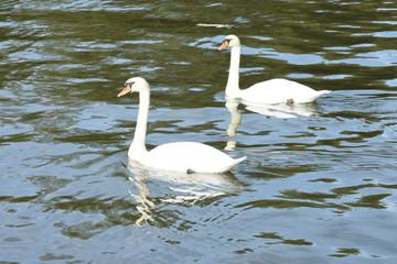 Photo Stands Swan koppel zwanen in kanaal Marne au Rhin in de Vogezen