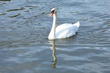 Photo Blinds Swan zwaan in kanaal Marne au Rhin in de Vogezen