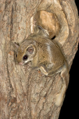 Southern Flying Squirrel at nest cavity taken in Minnesota under controlled conditions
