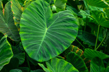 Green weed in tropical wetlands There are large green leaves resembling the elephant's ear. Can be used as pet food.